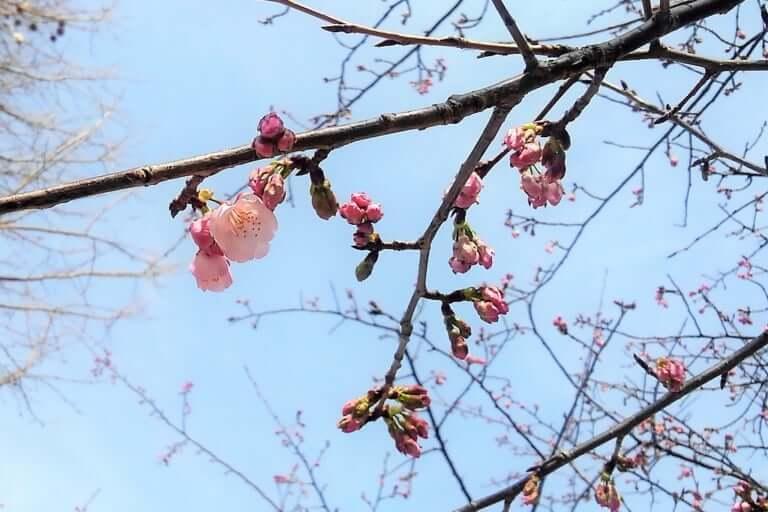 大東公園の桜