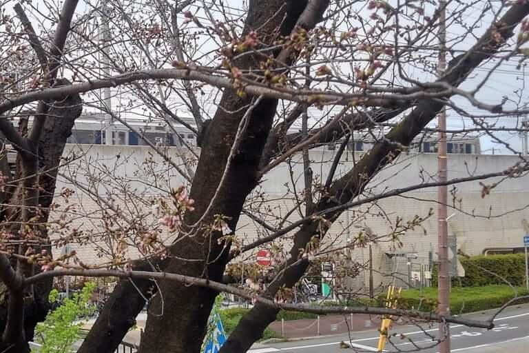 JR付近の桜