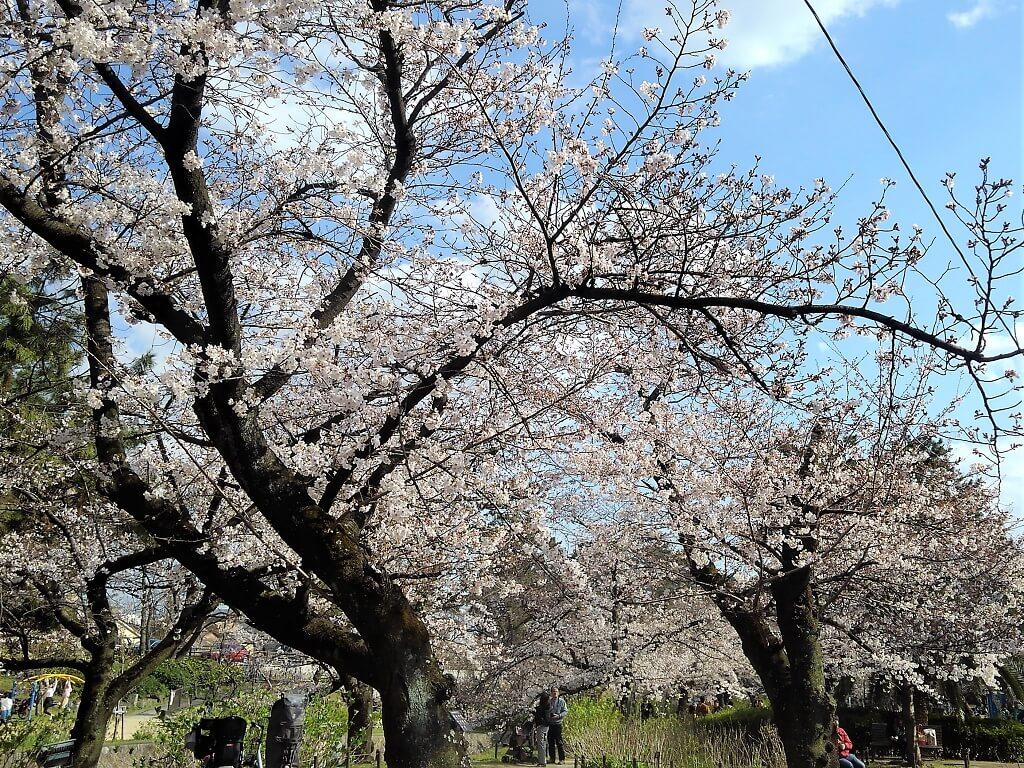 苦楽園口駅東の桜