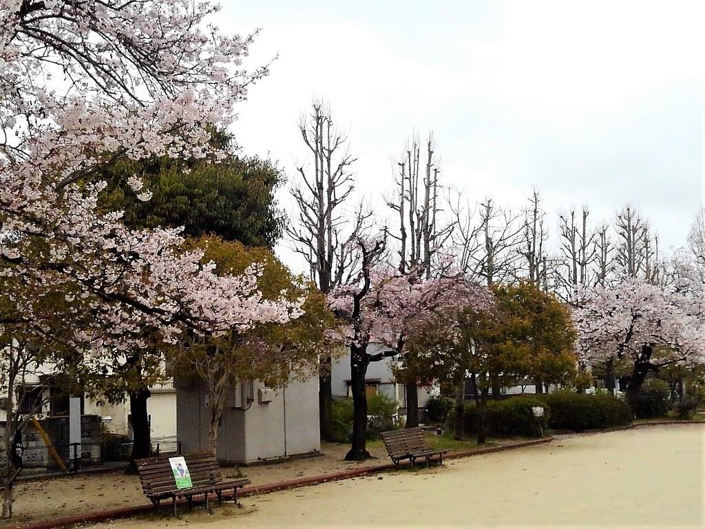 1本だけ色が違う桜