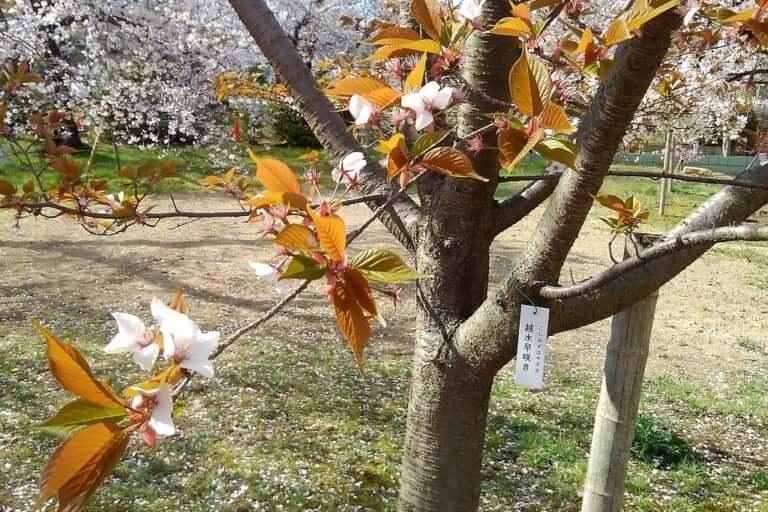 越水の早や咲き桜