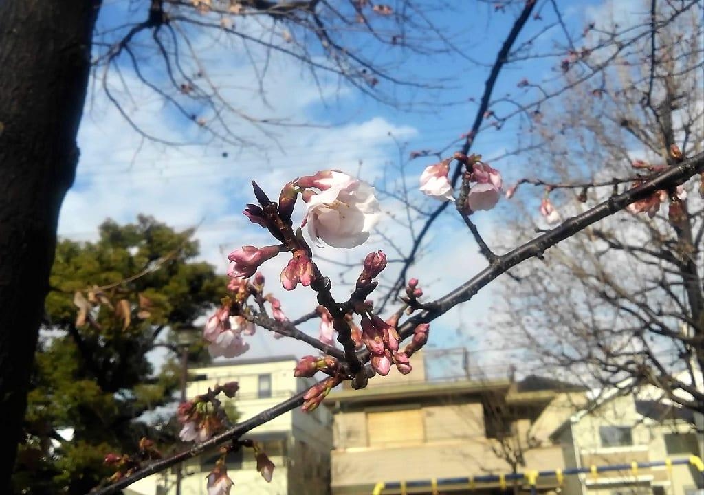 今津紅寒桜の花