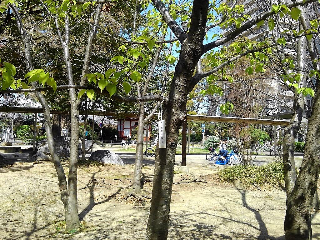 六湛寺公園の修善寺寒桜