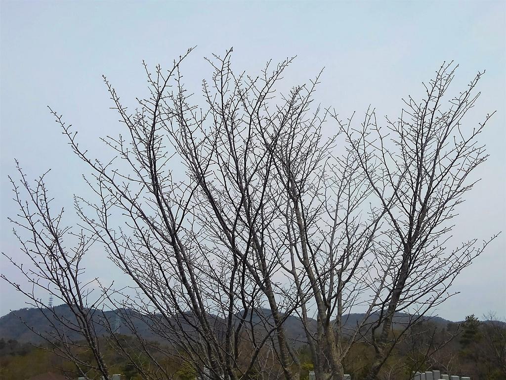 白水峡霊園の桜